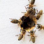 Wat is Manuka honing en waar dient het voor?
